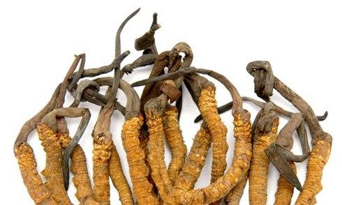 Lần đầu tiên Việt Nam nuôi cấy thành công đông trùng hạ thảo