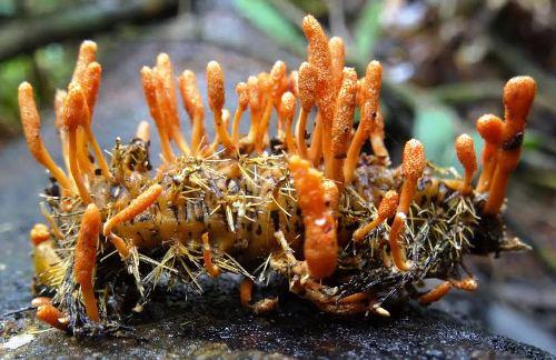 nhong trung thao 9024 1438828213 Đông trùng hạ thảo khác nhộng trùng thảo thế nào nhahanghanoi.vn