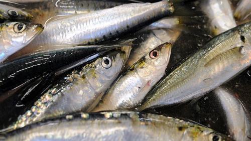 140716123209 sardines story to 8481 5783 1441270665 Ăn mắt cá không tăng cường thị lực nhahanghanoi.vn