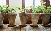 Trồng cây trong nhà chưa chắc có lợi cho sức khỏe