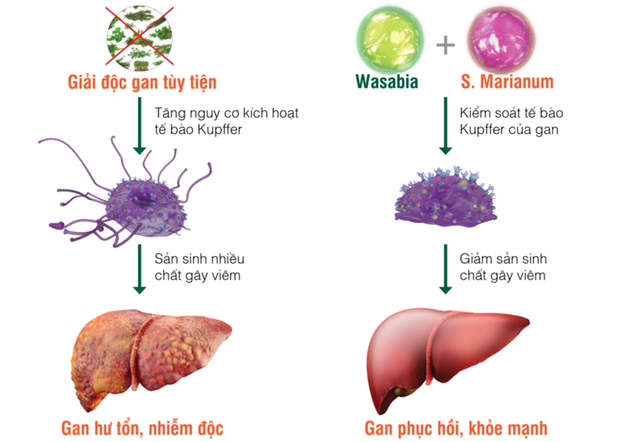 Tinh chất Wasabia và S. Marianum thiên nhiên (có trong Hewel) có khả năng kiểm soát tế bào Kupffer, giảm thiểu số lượng tế bào gan bị huỷ hoại và tăng cường khả năng giải độc, chống độc, bảo vệ gan.