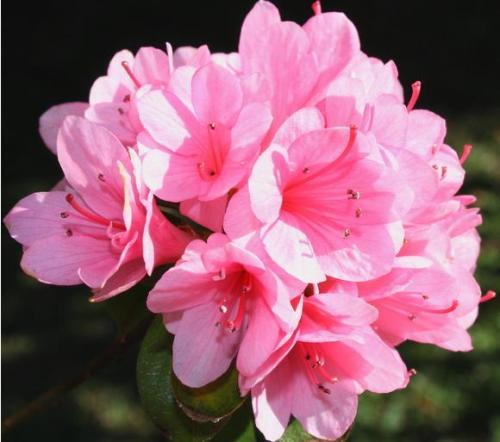Đỗ quyên - loài hoa độc chữa được nhiều bệnh