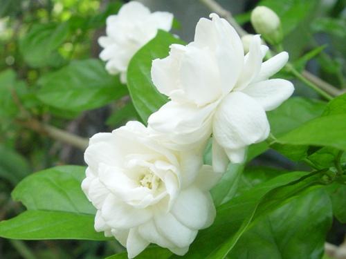 Tác dụng trị bệnh của hoa lài