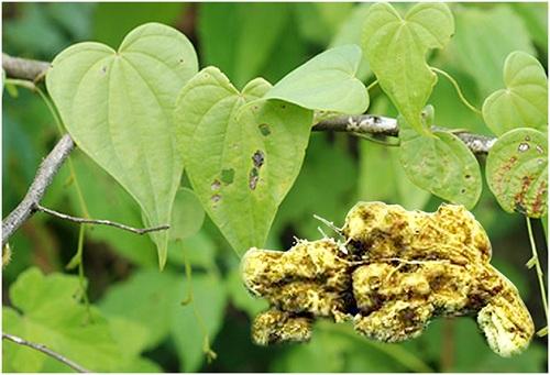 Nần nghệ (Dioscorea collettii) được tìm thấy tại Việt Nam