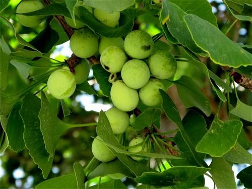 Cây bạch quả và vị thuốc bạch quả (hạt chín già của cây bạch quả).