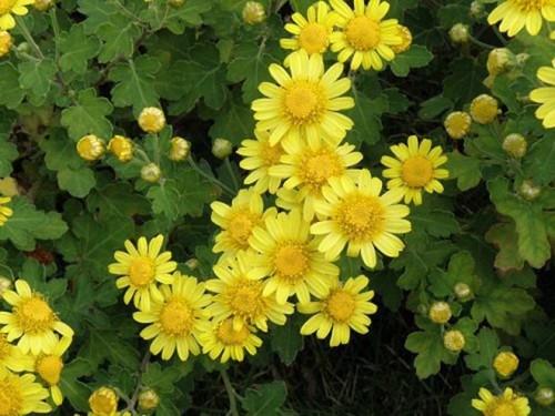 Hoa cúc vàng chữa mất ngủ, huyết áp cao
