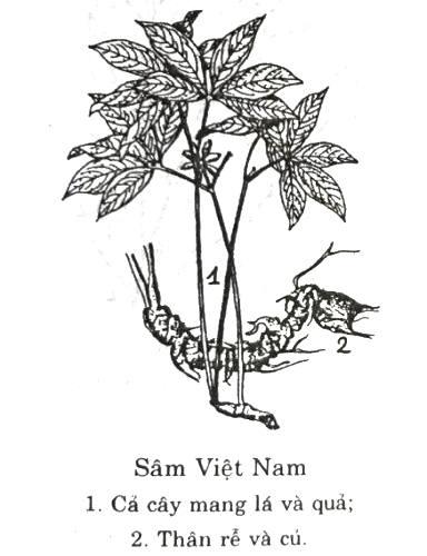 sam-ngoc-linh-thuoc-tien-noi-rung-thieng-viet-nam