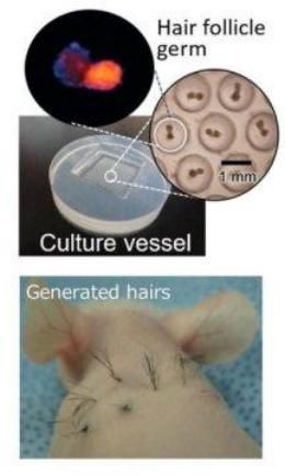 Chuột mọc lông trên lưng sau khi được chíp chứa mầm nang lông. Ảnh: Yokohama National University.