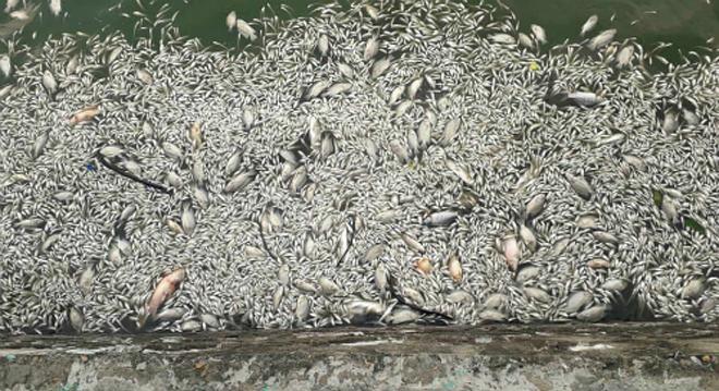 Cá chết nổi trên mặt nước Hồ Tây. Ảnh: Thúy Quỳnh.