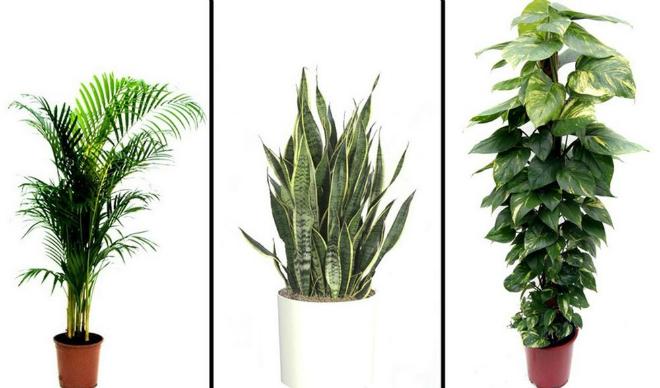 Các loại cây lọc không khí quen thuộc.
