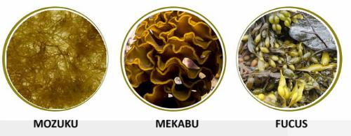 3 loại rong nâu chứa các hoạt chất Fucoidan khác nhau.