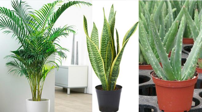 Các loại cây giúp lọc không khí trong lành. Ảnh: P.C