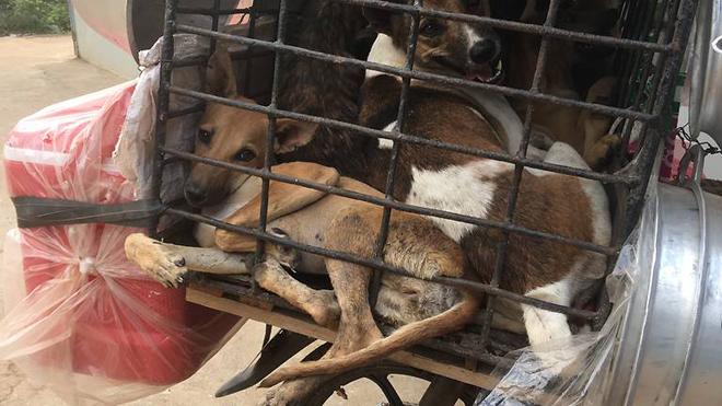 Việt Nam là một trong những nước ăn thịt chó nhiều nhất thế giới với 5 triệu con chóbị làm thịt và tiêu thụ mỗi năm.
