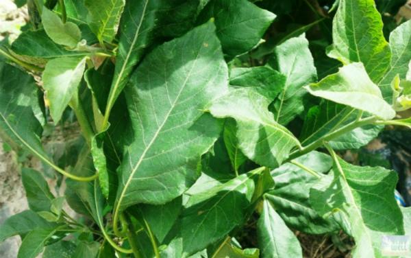 Lá cây mật gấu có nhiều chất sinh học tốt cho sức khỏe được dùng trong các món ăn hay nấu nước uống. Ảnh: SWW