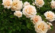 7 loại hoa thảo dược bạn nên trồng trong sân nhà