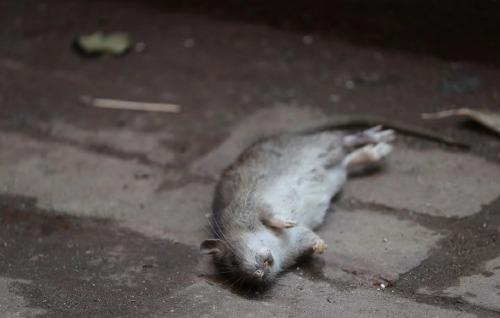 Chuột là thủ phạm khiến hai người Hong Kong mắc bệnh viêm gan E. Ảnh: Edward Wong.