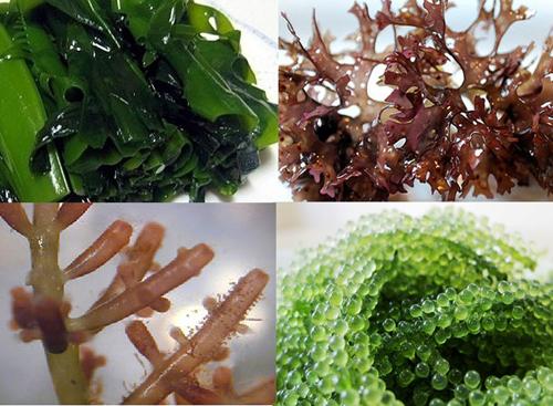 Rong nâu là thực phẩm quen thuộc trong văn hóa ẩm thực của người Nhật.
