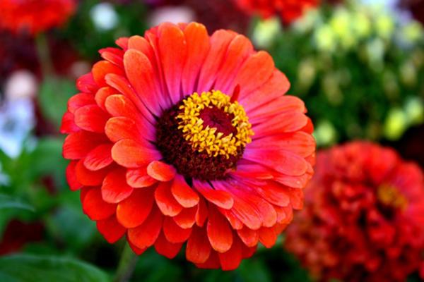 Dínhnhựa của hoa cúc có thể gây dị ứng da.