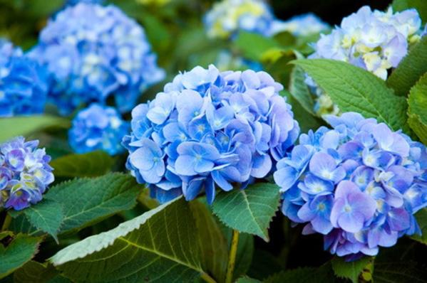 Hạt phấn nhỏ trên do hoa cẩm tú cầu phát tán sẽ làm da nhạy cảm bị dị ứng.