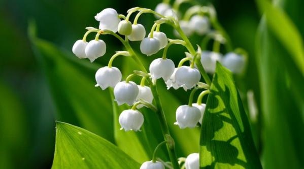 Vô tình nuốt phải một ít hoa lan chuôngsẽ bịbuồn nôn, tiêu chảy, nặng thì co giật.