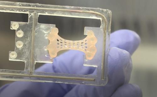 Miếng vá tim do các nhà khoa học Anh phát triển từ công nghệ tế bào gốc. Ảnh: BBC.