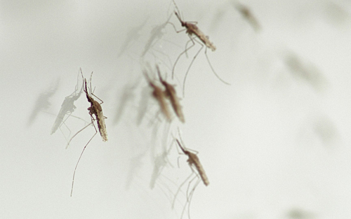 Tìm ra loại nấm tiêu diệt muỗi truyền bệnh sốt rét - ảnh 1