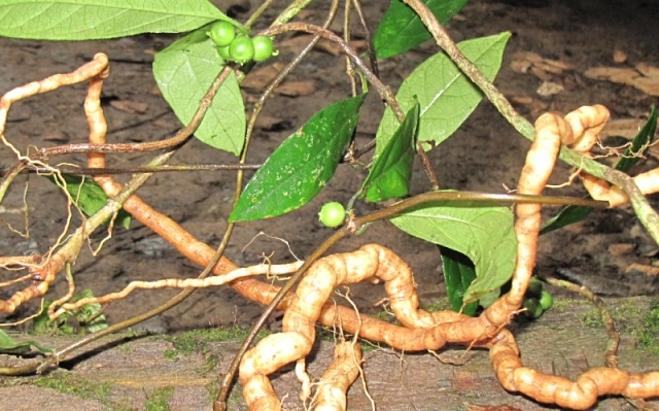 Hai loại cây vị thuốc có tác dụng bổ thận tráng dương