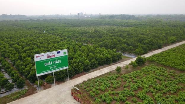 Vùng quất đạt tiêu chuẩn GACP-WHO của Ích Nhi tại Vụ Bản, Nam Định.
