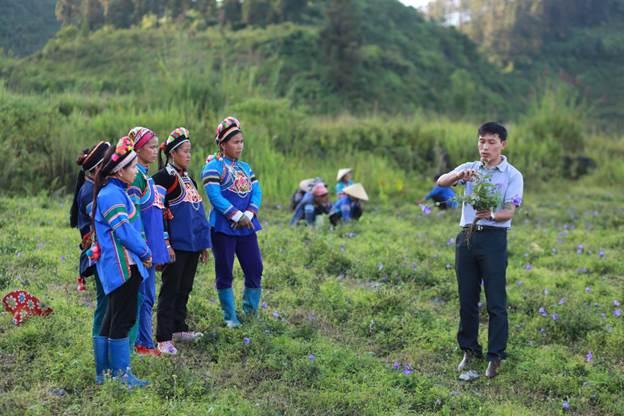 Chuyên gia hướng dẫn đồng bào dân tộc trồng dược liệu cát cánh theo tiêu chuẩn GACP-WHO tại Bắc Hà, Lào Cai.