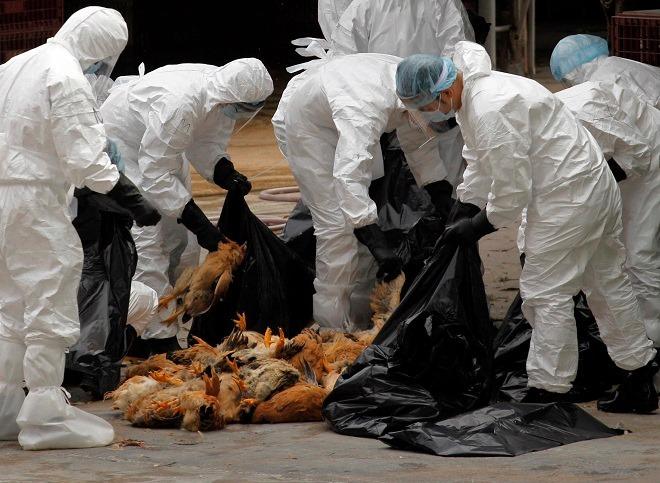 Nhân viên y tế tại Hongkong tiêu hủy gà chết. Ảnh: Reuters