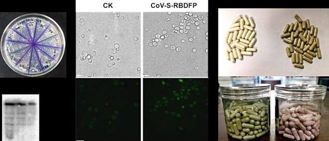 Đã điều chế thành công vắc xin ngừa Covid-19 dạng uống