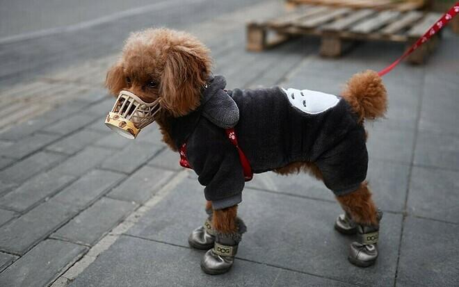 Một chú chó được chủ nuôi rọ mõm để ngăn ngừa nhiễm Covid-19 trên đường phố Bắc Kinh vào ngày 25/2. Ảnh: AFP